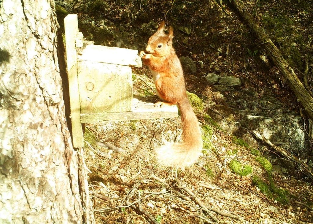 A red squirrel going nuts for its dinner. Photo courtesy of Red Squirrels Northern England