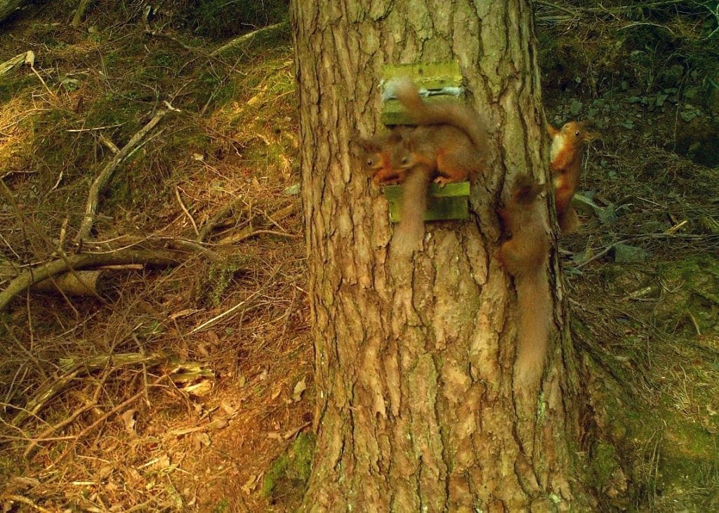 Red squirrels at Thirlmere. Photo courtesy of Red Squirrels Northern England