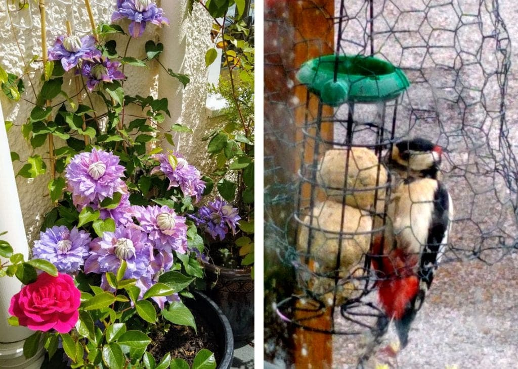 (Left) Clematis Josephine. (Right) Great spotted woodpecker, through the window.