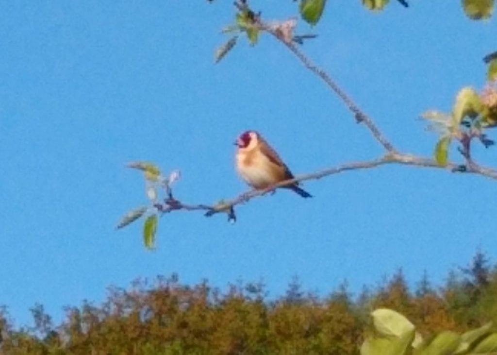 A goldfinch in Sue's apple tree