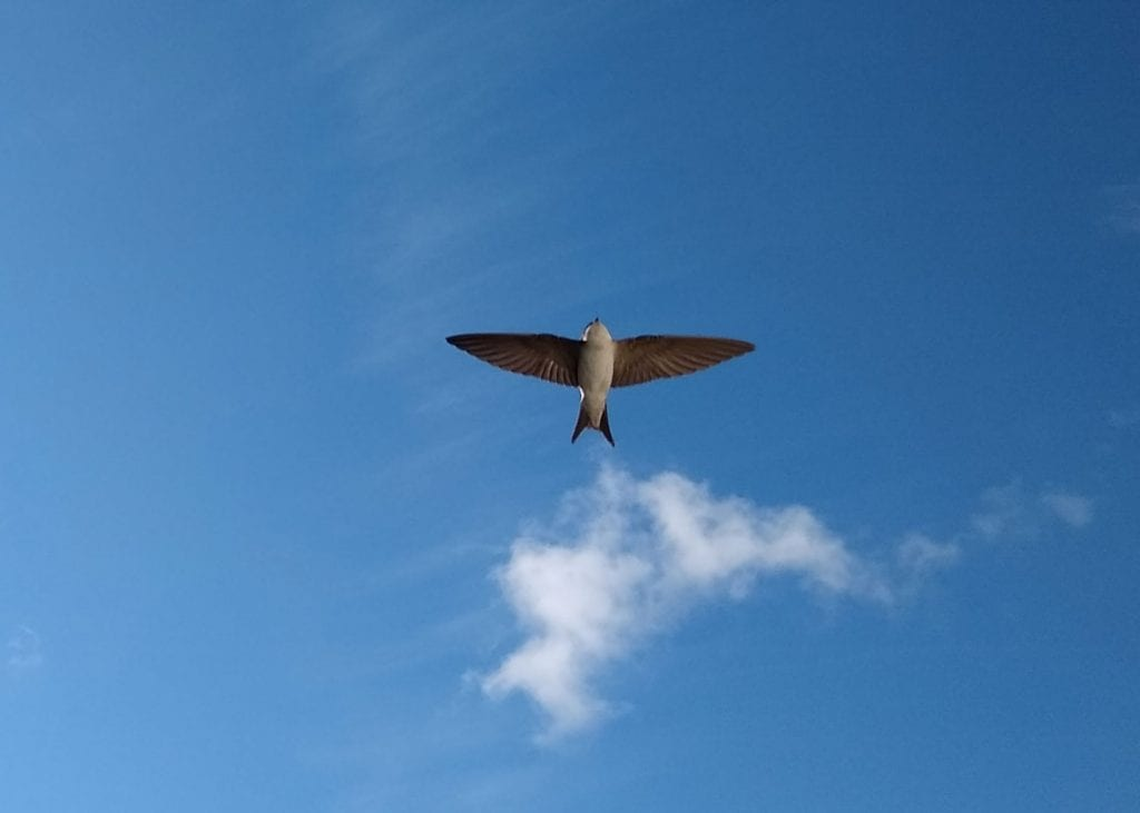 A house martin coming in to land in Sue's garden