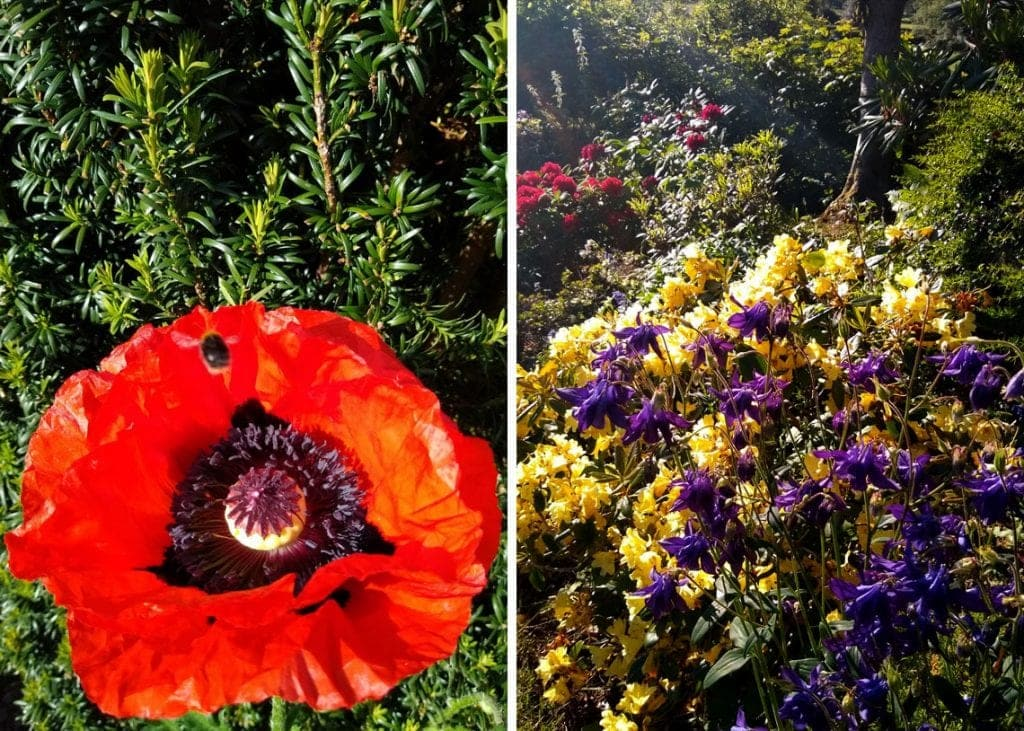 (Left) A bee visits Sue's first giant poppy. (Right) Aquilegias among the Azaleas.