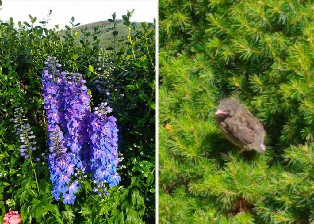 (Left) Delphiniums. (Right) A fledgling robin.